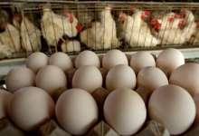 Яйца подорожают, курица тоже?